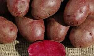 Naukowcy wynaleźli jeszcze lepsze ziemniaki