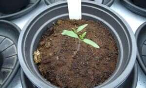 Rośliny uprawiane w symulowanych warunkach marsjańskich można bezpiecznie jeść
