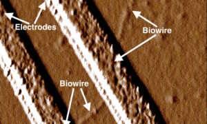 Bakteria, która tworzy przewody