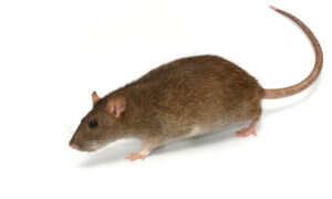 Przerwany rdzeń kręgowy został odtworzony u szczurów