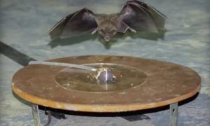 Czy nietoperze będą w stanie przetrwać coraz większy hałas miast?