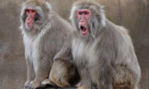 Cieszmy się, że małpy nie są zbyt gadatliwe