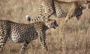 Gepardy mogą wkrótce wyginąć