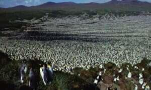 Największa kolonia pingwinów królewskich skurczyła się o 90 procent