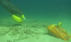 Delfiny w służbie U.S. Navy