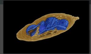 Ta skamielina jest dowodem na pasożytnictwo owadów sprzed milionów lat