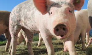 Wyhodowane płuca z sukcesem zostały przeszczepione do świni