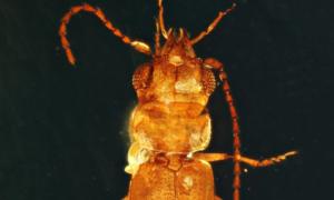 Ten chrząszcz sprzed 100 milionów lat wciąż wygląda jak żywy