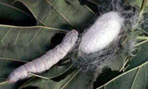 Genetycznie modyfikowane jedwabniki sposobem na masową produkcję sieci?