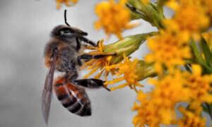 Preparaty do zwalczania chwastów zabijają też pszczoły