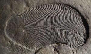 Dickinsonia to prawdopodobnie najstarsze zwierzę na Ziemi
