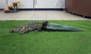 Skanowanie 3D pomogło pewnemu aligatorowi