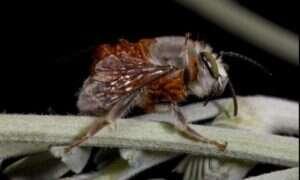 Gatunek chrząszczy lata na grzbietach pszczół by zjeść ich młode