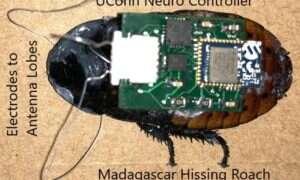 Biorobotyka robi krok naprzód tworząc cybernetyczne karaluchy