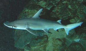Ten wszystkożerny rekin uwielbia rośliny