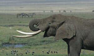 DNA kości słoniowej pomoże w rozwiązaniu problemu kłusownictwa