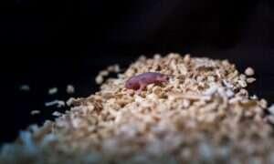 Urodziły się myszy, które mają dwie genetyczne matki