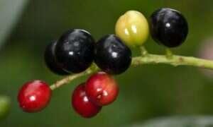 CRIPSR zamieni dzikie jagody w rośliny uprawne