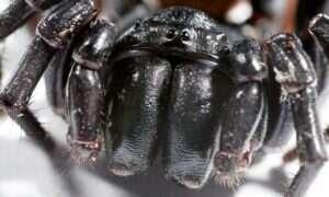 Ta skamielina pająka wciąż posiada błyszczące oczy