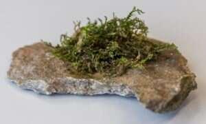 Mech zawiera podobne do marihuany związki