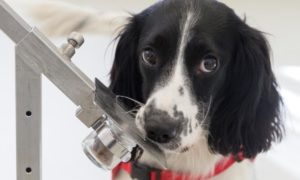 Psy świetnie wykrywają malarię