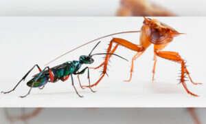 W jaki sposób walczy karaluch i osa szmaragdowa?