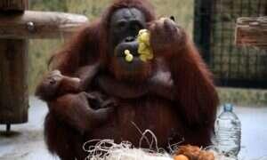 Orangutany lepiej od dzieci tworzą narzędzia