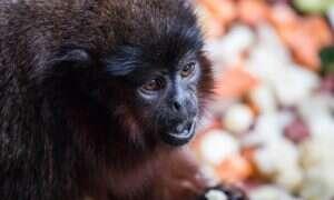 W jaki sposób ewolucja zmieniła małpy na Jamajce?