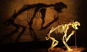 Szkielet lwa workowatego ujawnia nowe informacje na jego temat
