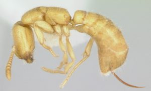 Dzięki swoim szczękom ta mrówka jest najszybszym zwierzęciem na Ziemi
