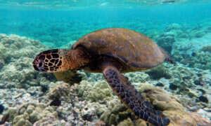 Mikroplastiki znajdują się we wnętrznościach żółwi morskich na całym świecie