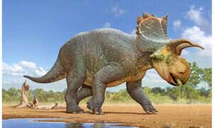 Ten dinozaur sprzed 73 mln lat był krewnym Triceratopsa
