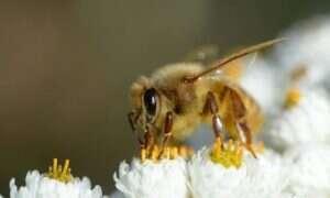 Ta szczepionka powinna pomóc pszczołom