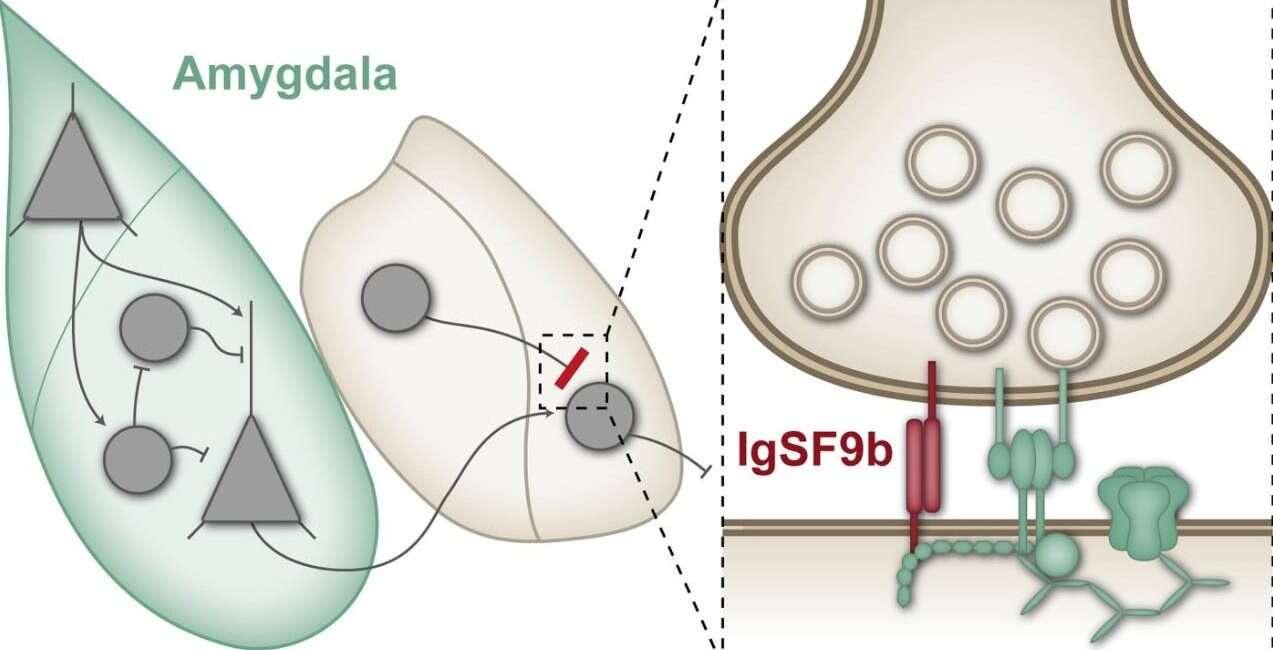 lęk, zaburzenia lękowe, leczenie lęku, białko, IgSF9b, białko IgSF9b