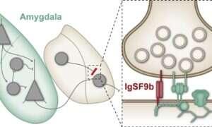 Białko w mózgu może być celem dla leków zwalczających lęk