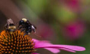 Pszczoły z sensorami pomogą w śledzeniu plonów