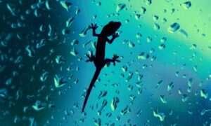 Gekony mogą biegać po wodzie