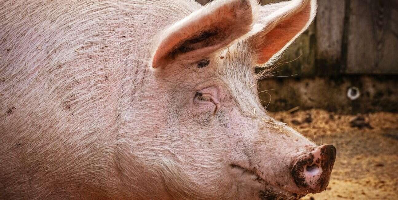 klasyczny pomór świń, wirus klasycznego pomoru świń, genetycznie modyfikowane świnie, wirus świnie, pomór świni