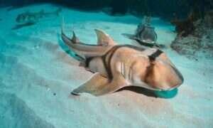 Zmiany klimatyczne wpływają na mózgi rekinów