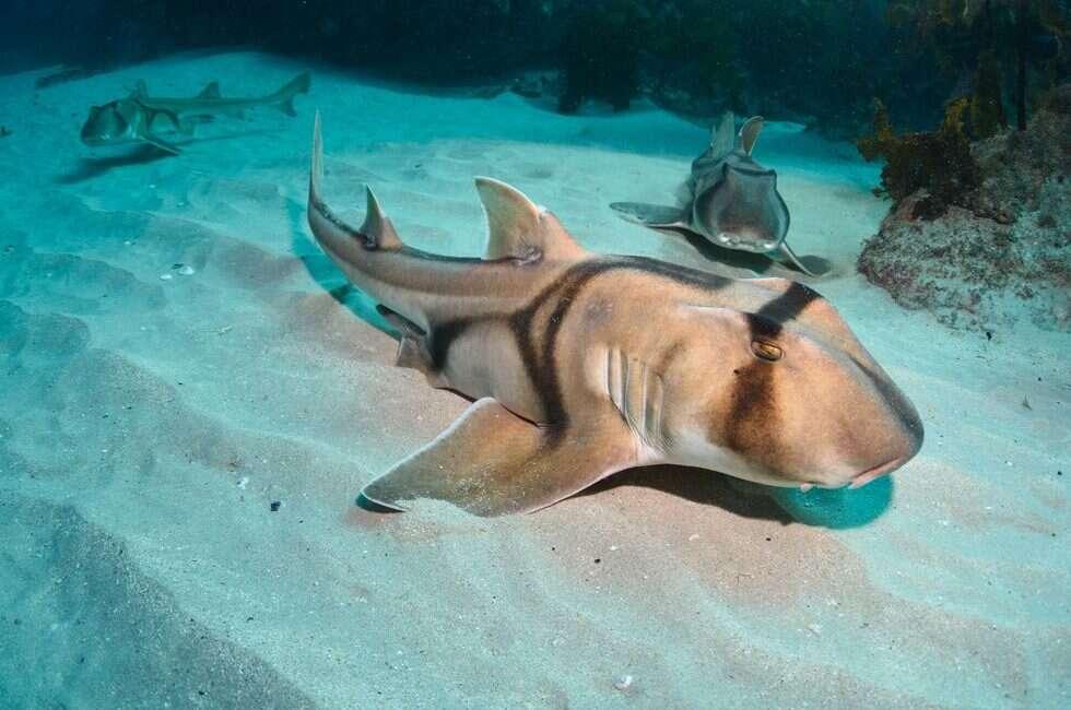 rekiny, klimat, zmiany klimatyczne, wpływ zmian klimatycznych, zmiany u zwierząt