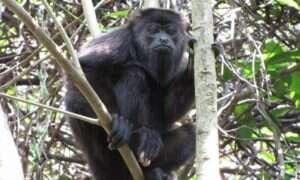 Badanie nad wyjcami ujawnia mechanizmy tworzenia nowych gatunków