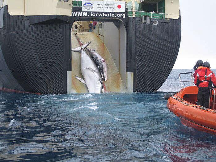 Japonia, wieloryby Japonia, połów wielorybów, połów wielorybów Japonia, IWC