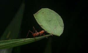 Mrówki parasolowe wytwarzają gazy cieplarniane