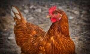 Zmodyfikowane kury produkujące białko użyteczne w medycynie