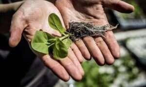 Zmodyfikowana fotosynteza zwiększyła plony roślin o 40%