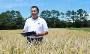 Wysokobiałkowy ryż ma znacznie większe plony