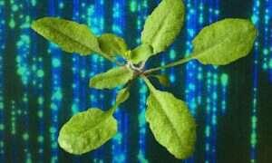 Badanie pomagające w zrozumieniu roślin genetycznie modyfikowanych