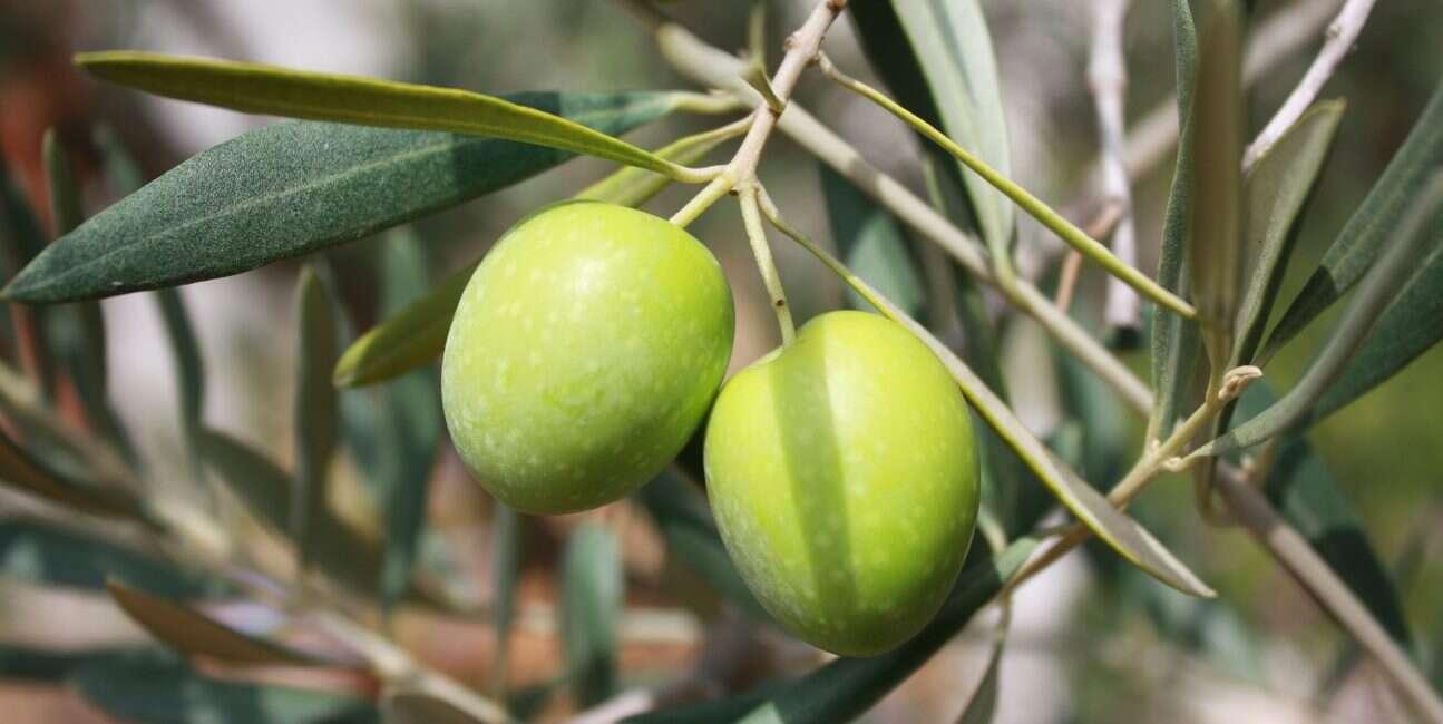 oliwki, obróbka oliwek, gorzki smak oliwek, hodowanie oliwek