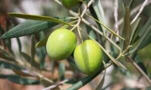 Naukowcy opracowali bardziej ekologiczny sposób uzyskiwania oliwek