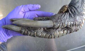 Dlaczego ta ogromna stopa wygląda jakby należała do dinozaura?